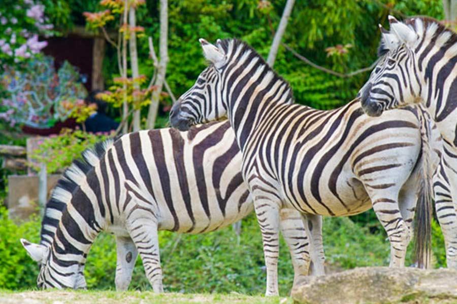 kideaz zebres zoo amneville