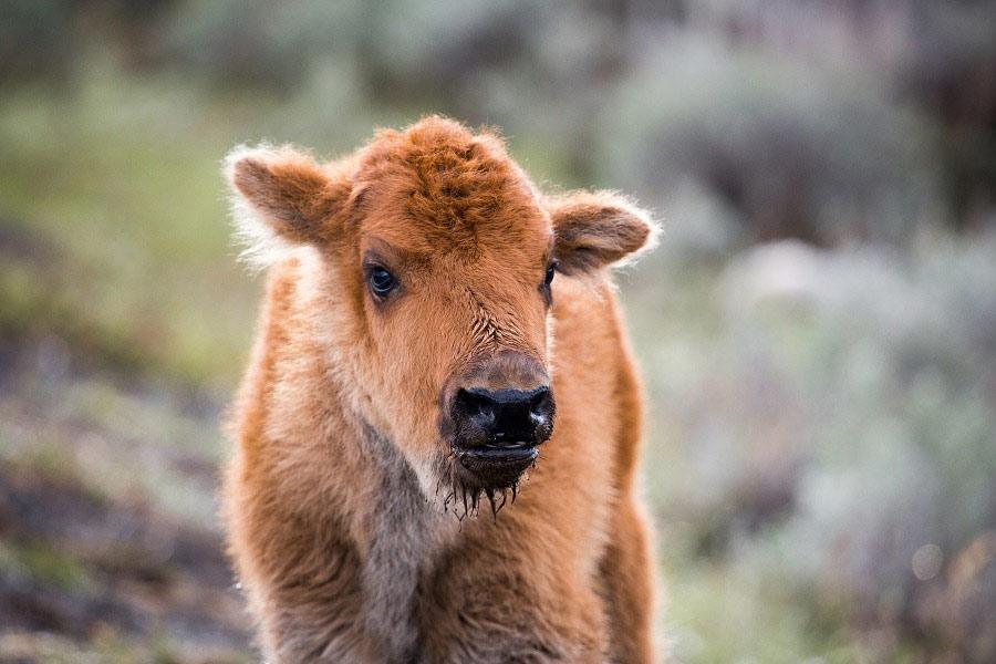 kideaz bison animal ferme