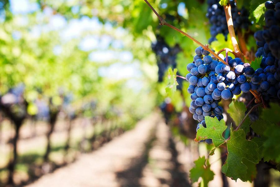 kideaz vignoble raisin grape