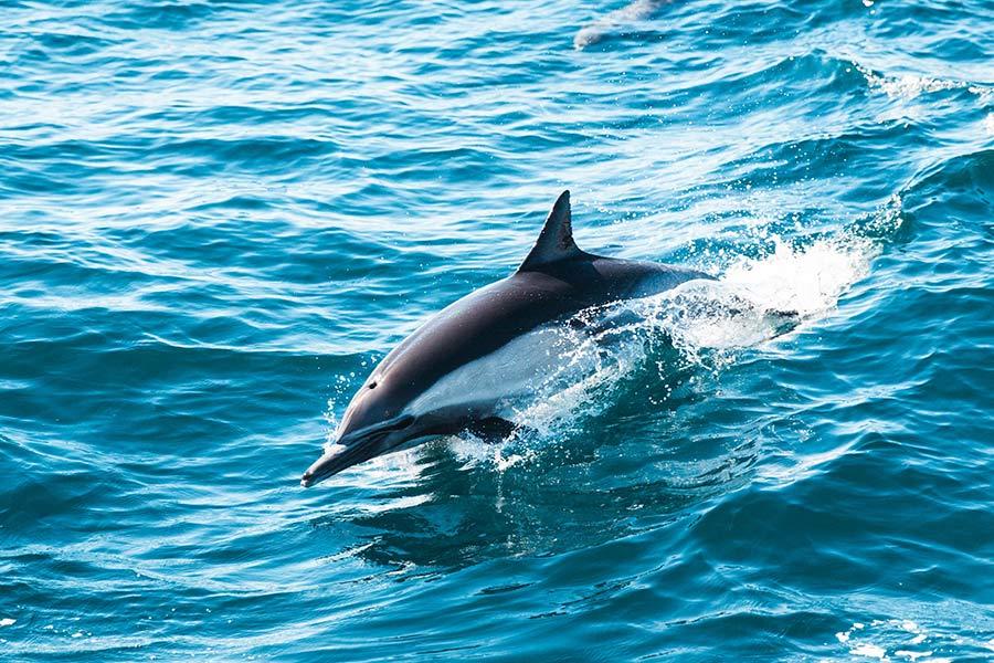 kideaz ocean dauphin