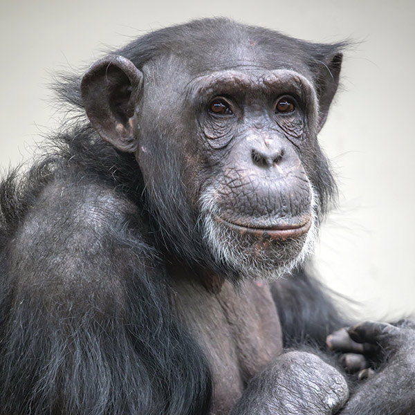 little kideaz magazine dossier grands singes bonobo