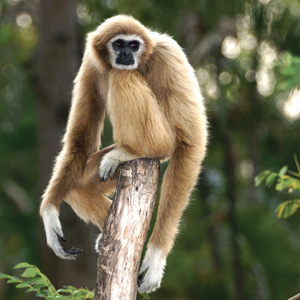 little kideaz magazine dossier grands singes gibbon
