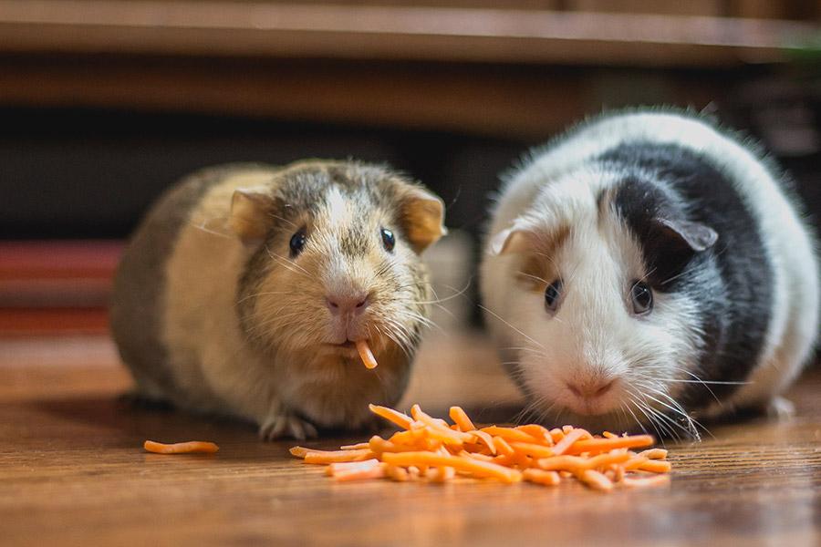 kideaz cochons dinde nourriture animal compagnie