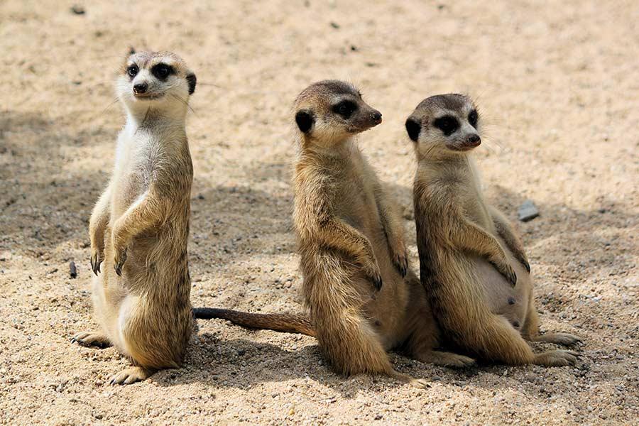 kideaz suricate parc animalier